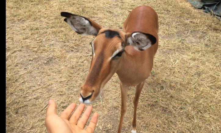 Impy the resident impala